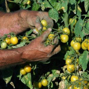 Agosto 2016: raccolta pomodorino giallo in campo